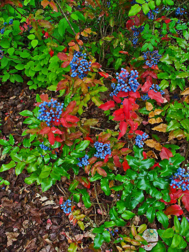 Oregon Grape (http://www.herbalremediesadvice.org/oregon-grape-herb.html)