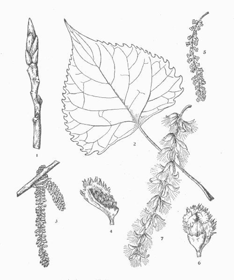Black Cottonwood Botanical Drawing (Otis, 1931)