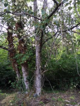 Black Cottonwood (Personal Photo, Conrad Parken, June 2016)