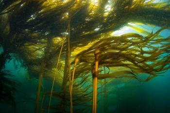 Bull Kelp Forest