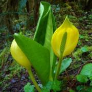Image of Skunk Cabbage