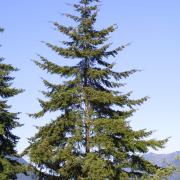 Douglas Fir (Tree Seed Online ltd., 2016)