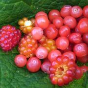 Assorted berries dotting Coastal BC (Salmon berries, huckleberries)