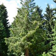 Western Red Cedar (http://xn--80aalewbjz9aa3im.xn--p1ai/or-western-red-cedar.php)