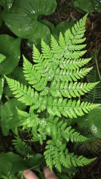 Picture of bracken fern