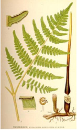 Picture of bracken fern identification