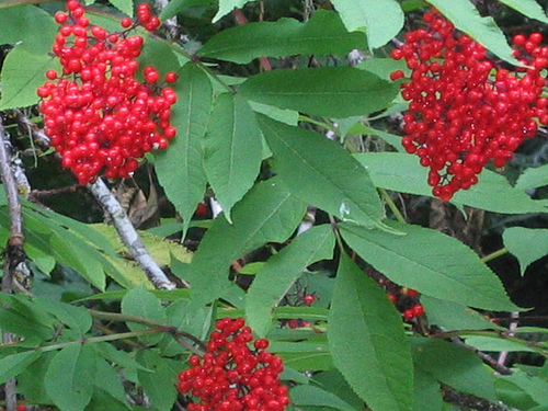 Red Elderberry plant showing clusters of red berries and green leaves