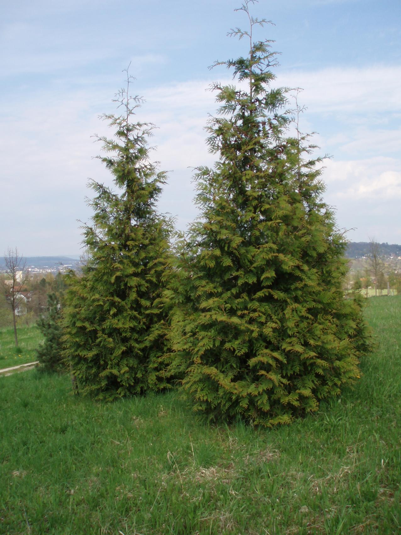 Western Red Cedar (http://www.tree-shop.co.uk/products_detail.asp?productheadingID=1101#sthash.IJ84ZGmq.dpbs)