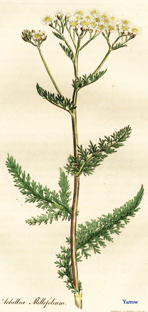 Yarrow Botanical Drawing (http://www.gettyimages.ca/detail/news-photo/white-flowered-yarrow-or-milfoil-achillea-millefolium-news-photo/138602875#white-flowered-yarrow-or-milfoil-achillea-millefolium-handcolored-picture-id138602875)