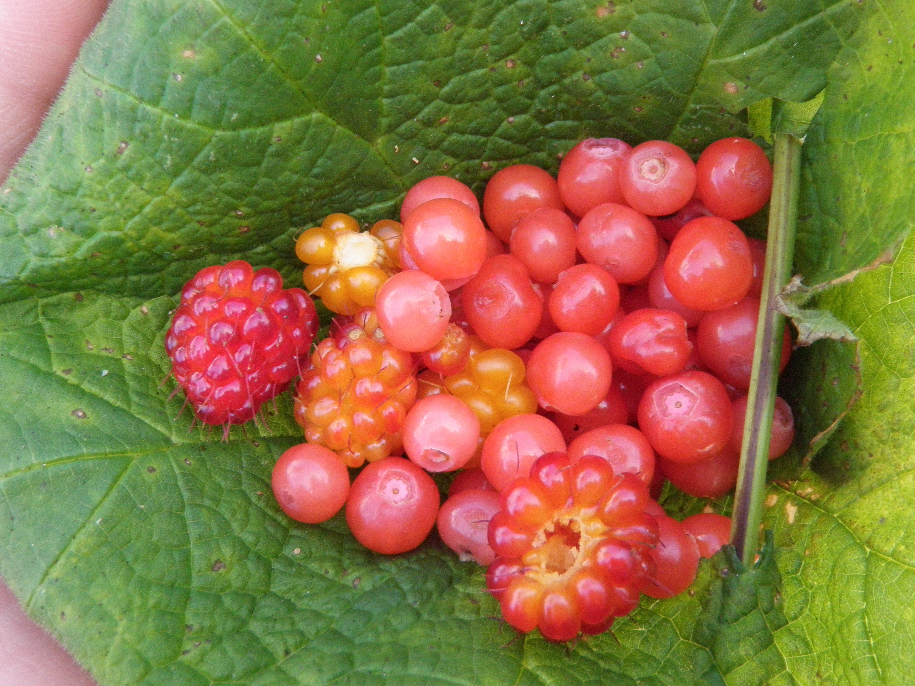 Assorted berries dotting Coastal BC (Salmon berries, huckleberries)