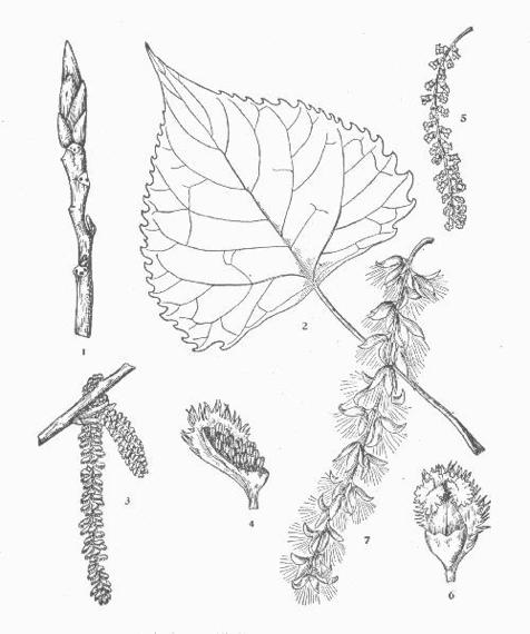 Black Cottonwood Botanical Drawing (Otis, 1931)