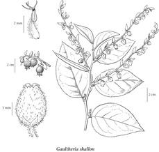 Diagram of Salal Plant