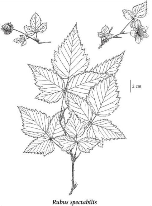 Rubus spectabilis, salmonberry