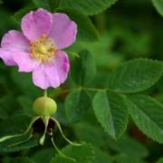 Nootka Rose Image