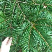 Top of grand fir needles