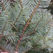 Underside of grand fir needles