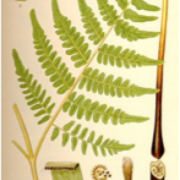Picture of bracken fern identification