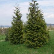 Western Red Cedar (http://www.tree-shop.co.uk/products_detail.asp?productheadingID=1101#sthash.IJ84ZGmq.dpbs)