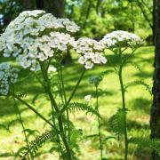Close-up Yarrow (http://moonflowersarah.blogspot.ca/2013/01/yarrow-remedy-for-wounded-healer.html)
