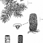 Grand Fir Drawing (E-Flora BC, 2016)
