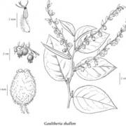 Diagram of Salal Plant