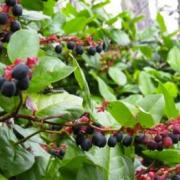 Picture of Salal Berries