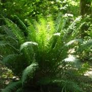 picture of sword fern in the forest