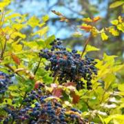 Leaves and blue-black berries of Tall Oregon Grape