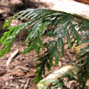 Western Red Cedar (TreeCanada, 2016)