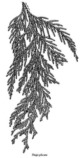 Western Red Cedar Botanical Drawing (for.gov.bc., 2016)